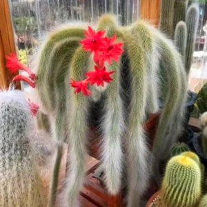 Cactus Cola de Mono