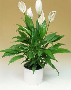 Spathiphyllum - Cuna de Moises